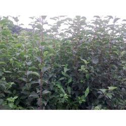 苹果苗订购、天园苗木基地、济南苹果苗图片