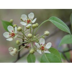 杜梨种子-天园苗木基地(在线咨询)烟台杜梨图片