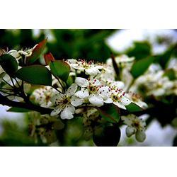 出售杜梨树-苍山杜梨-天园苗木基地(查看)图片
