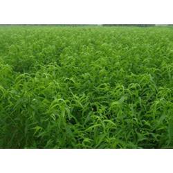 桃树苗 种植-天园苗木基地(在线咨询)平邑桃树苗图片