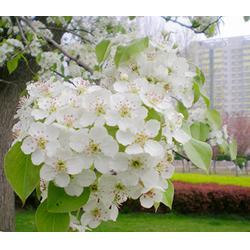 天园苗木基地,杜梨树嫁接,济宁杜梨树图片