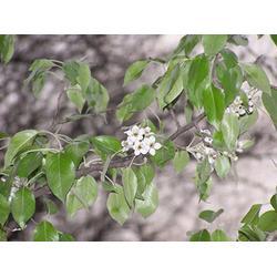 杜梨苗种子-苍山杜梨-天园苗木基地(查看)图片