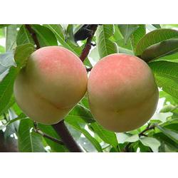 种植桃树苗、天园苗木基地(在线咨询)、桃树苗图片