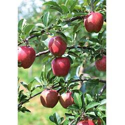 苹果苗出售,天园苗木基地(在线咨询),平邑苹果苗图片