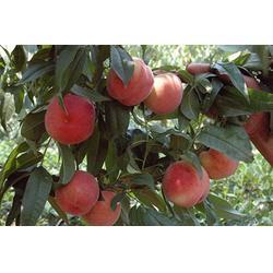天园苗木基地,桃树苗,枣庄桃树苗图片