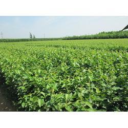 天园苗木基地、甜茶芽苗、蒙阴甜茶图片