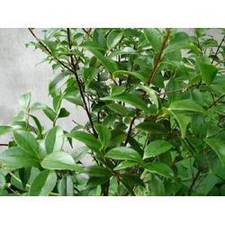 甜茶产地-天园苗木基地(在线咨询)天津甜茶图片