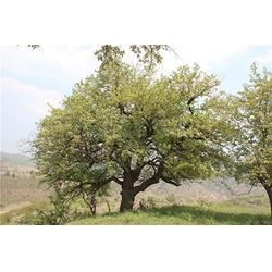 天园苗木基地 杜梨树苗-罗庄杜梨图片