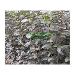 海棠苗种植技术-天园苗木基地-山西海棠苗种植图片