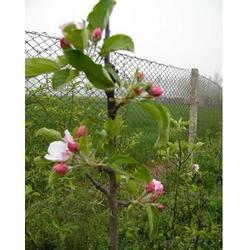 济宁苹果苗-天园苗木基地-优良苹果苗图片