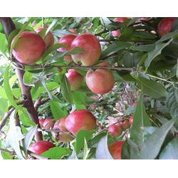桃树苗厂家 天园苗木基地(在线咨询) 郯城桃树苗图片