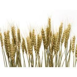 谷美食品(图)|山东小麦胚芽|小麦胚芽图片
