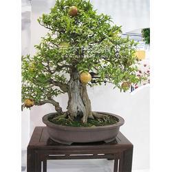 保定果树盆栽1图片