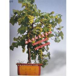 葡萄盆栽种植1图片