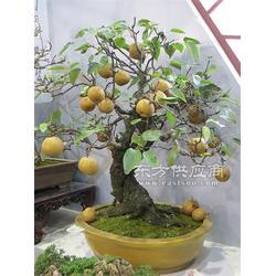 梨树盆景1图片