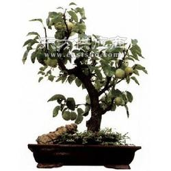 果树盆景养护、艳永图片