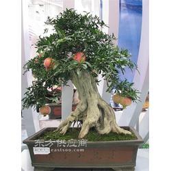 果树盆景销售一图片