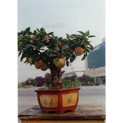 苹果盆景厂家,艳永盆景图片