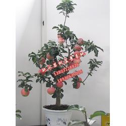 保定果树盆栽销售厂家图片