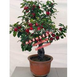 苹果盆栽种植图片