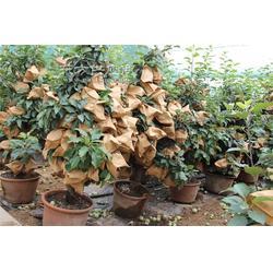 苹果盆景养护5图片