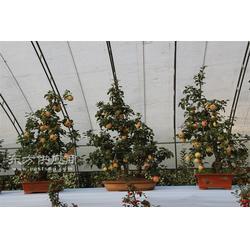 苹果盆栽种植0图片