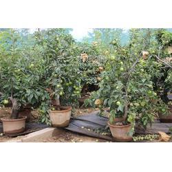 苹果盆景种植保定图片