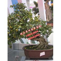 柿子盆景制作图片