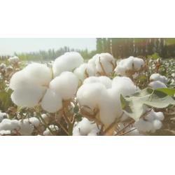 优质棉花厂家_龙达家纺辅料(已认证)_黄山棉花图片