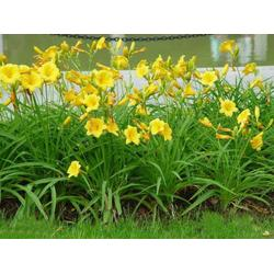 宿根花卉、斌洋草花苗木(已认证)、珠海宿根花卉图片