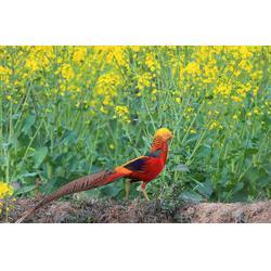 一路发孔雀养殖 红腹锦鸡鸡苗-红腹锦鸡图片