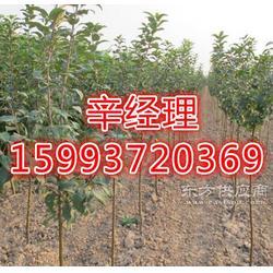 在哪里买桂花树 黄杨球 红叶碧桃什么图片
