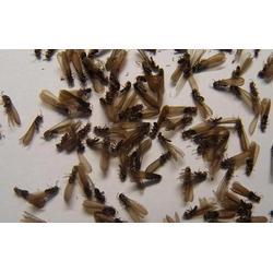 白蚁防治费用,谢岗白蚁防治,天筑环保(查看)图片