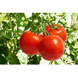 乔老师现代农业,露天西红柿种植技术,山东西红柿种植技术图片
