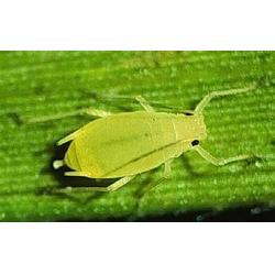 樹蟲一次凈,廣州綠順園林(在線咨詢),樹蟲一次凈圖片