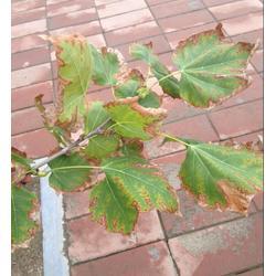 廣州綠順園林、圃菌清白玉蘭殺菌劑、韶關圃菌清圖片