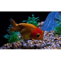 专业观赏鱼养殖_淡水观赏鱼_淡水观赏鱼养殖图片