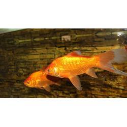 金鱼 长彦专业金鱼养殖基地 河南金鱼图片