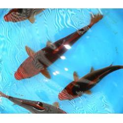 河南锦鲤,长彦锦鲤实力厂家,河南锦鲤养殖图片