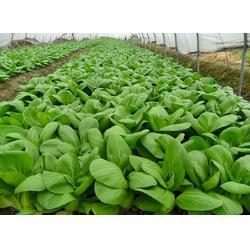 西安蔬菜配送服务|袋鼠农产品销售(在线咨询)|蔬菜配送图片