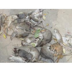武汉家庭灭老鼠、武汉拜斯特老鼠防治、老鼠图片
