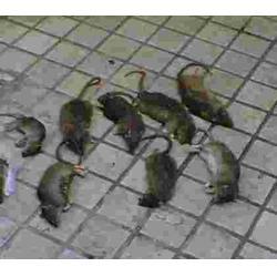 黄石工厂老鼠防治-拜斯特灭老鼠-老鼠图片