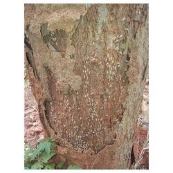 古建筑古树灭白蚁,通城县灭白蚁,白蚁防治公司(查看)图片