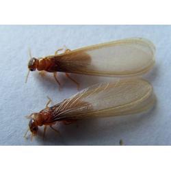 莲塘除白蚁|如何除白蚁|威士消杀(优质商家)图片