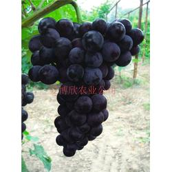 爱博欣农业、博欣一号葡萄栽培、博欣一号葡萄图片