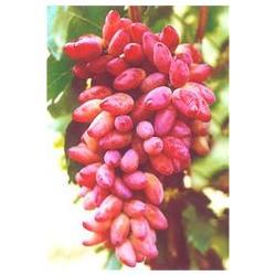 红乳葡萄,河北爱博欣农业,红乳葡萄种苗图片