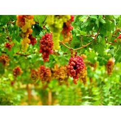 葡萄技术推广|爱博欣农业|河北葡萄技术图片