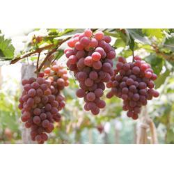 大棚葡萄防治,大棚葡萄,昆明爱博欣农业(查看)图片