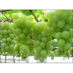 大棚葡萄,大棚葡萄效益,昆明爱博欣农业(优质商家)图片