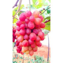 巨玫瑰葡萄种植_巨玫瑰葡萄_昆明爱博欣农业(查看)图片